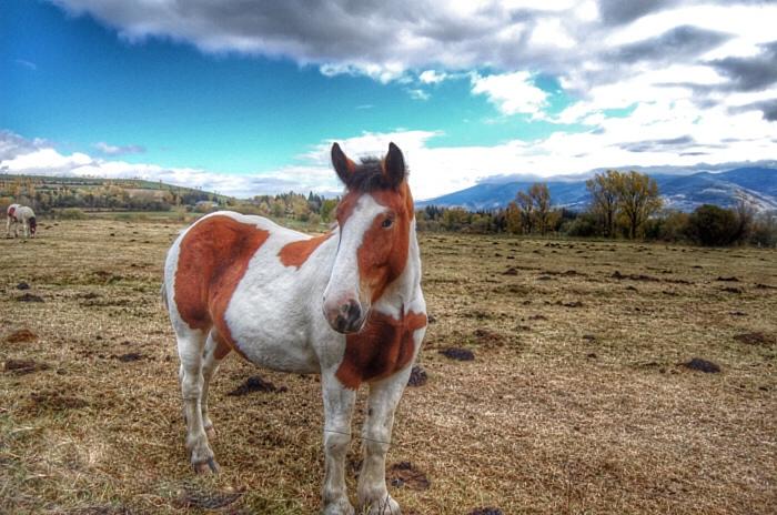 Hispanic Breton Horse